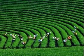 PARADISE VALLEY OF TEA PLANTATION - THE MOC CHAU PLATEAU